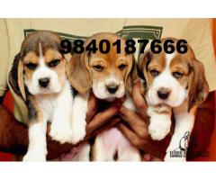 beagle puppies for sale in chennai 9840187666