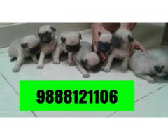 Best pug puppy buy in jalandhar ludhiana chandigarh patankot