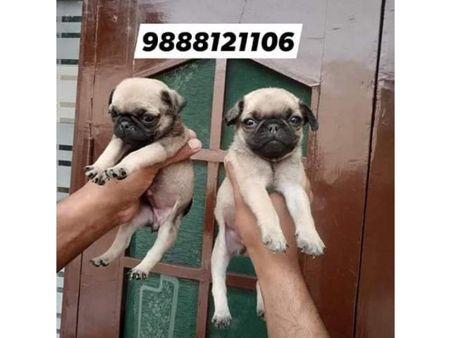 Pug puppy sale and purchase in very low price in jalandhar city