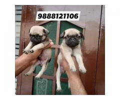 Pug puppy available in jalandhar ludhiana chandigarh patankot