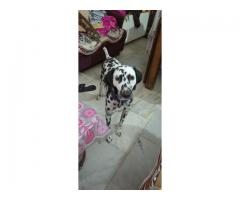 Sell 2 years old female dalmatian