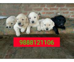 Labrador puppy buy in jalandhar city pure Breed top quality dog available