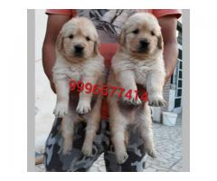 Golden Retriever Dogs For Sale Adopt Buy Sell Kci Certified