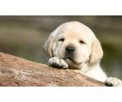Show quality golden labra puppies