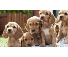 8130990153 LOVELY COCKER SPANIEL MALE FEMALE PUPS AVAILABLE