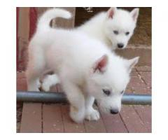 8368241911 MIND-BLOWING SIBERIAN HUSKY PUPS READY TO MOVE