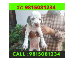 Dalmatian puppies Available For sale in Ludhiana.