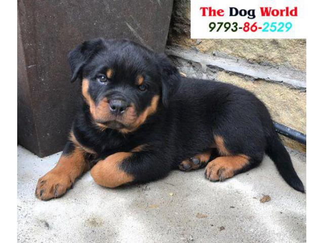 Heavy Punch Face Rottweiler Puppies available 9793862529