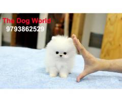 Small Size Toy Pom Tea Cup Puppies available 9793862529