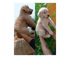 Golden Retriver puppies  available 9840156296