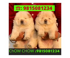 Chow Chow Puppies Available in Chandhigarh Jalandhar Amritsar Ludhiana Punjab.