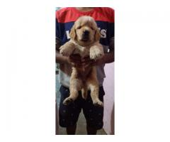 Golden retriever puppy available in Chennai contact 8754 615 589