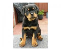 8368241911 ORIGINAL BREED ROTTWEILER PUPS AVAILABLE CALL ME