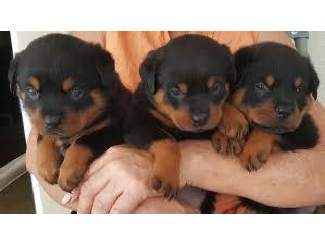 8130990153 CALL ME FOR PURE BREED ROTTWEILER PUPS