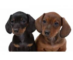 Dachshund Puppies Available in Khwabeeda Dreamy Pet's