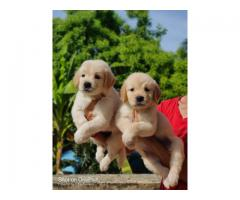 Golden retriever puppies available in chennai call 7200040780
