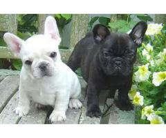 8368241911 GREAT QUALITY FRENCH BULLDOG PUPPIES AVAILABLE