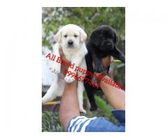 Show quality lab pup Availabile
