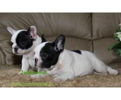French Bulldog puppy for sale in delhi | Healthy Dogs are available