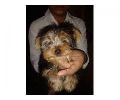 Yorkshire terrier puppies for sale in Delhi