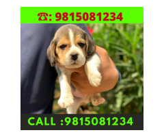 Beagle Puppy Available in Kapurthala.CALL:9815081234