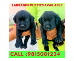 Labrador Puppy Buy and Sell in  Kapurthala.Call,: 9815081234.