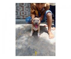 Pitbull male and female puppy available for sale