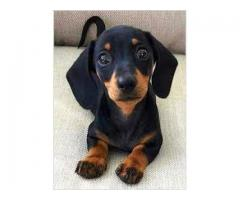 Dachshund  available for sale