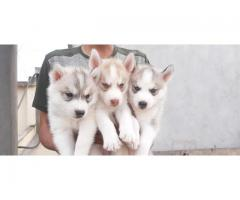 TOP QUALITY KCI AND VACCINATED  SIBERIAN HUSKY PUPPIES