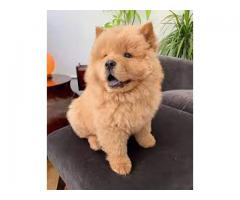 9971331250 Superb Quality Chow Chow Pups For sale in Testify Kennel