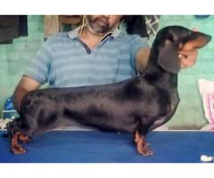 Dachshund Puppies Available Here Khwabeeda Dreamy Pet's in Delhi