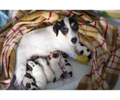 Jack Russell Terrier Pups For Sell Khwabeeda Dreamy Pet's