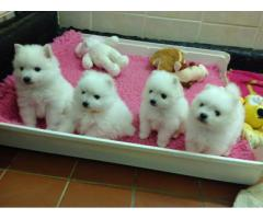 Trust Kennel Spitz Puppies Available Here