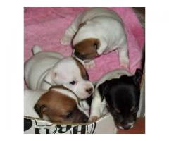 Show quality(((jack russell))) ava for sale