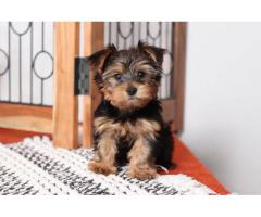 Show quality(((Yorkshire terrier))) ava for sale