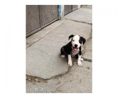 Pitbull female puppy available for sale
