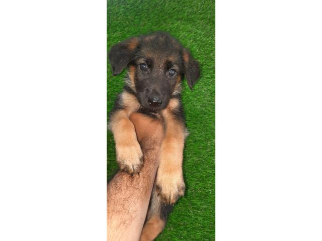 German shepherd male and female puppy available for sale
