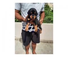 Rottweiler puppy available for sale