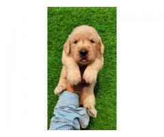 Golden Retriever Full Healthy Male Puppy Available. CALL: 7009022199
