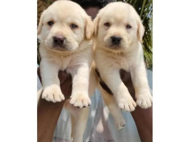 LABRADOR HEAVY SIZED ORIGINAL BREED QUALITY PUPPIES AVAILABLE IN CHENNAI-8825694373