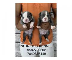 American bully puppies available for loving home 9582799502 ,7042846448