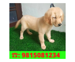 Superb Quality Golden Retriever Male Puppy Available in Shimla. CALL: 9815081234