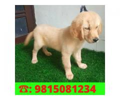 Top quality golden Retriever Male Puppy Available Kapurthala 9815081234