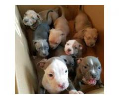 8130990153 GLORIOUS AMERICAN BULLY PUPPIES FOR SELL