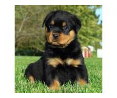 8130990153 GLORIOUS ROTTWEILER PUPS AVAILABLE