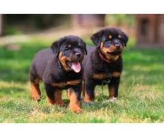 8368241911 MASSIVE ROTTWEILER PUPPIES GOOD QUALITY AVAILABLE