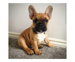 83668241911 BEST QUALITY FRENCH BULLDOG FAWN COLOR PUPPY AVAILABLE