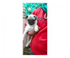 EXTREME PUNCH FACE WRINKLED PUG MALE AND FEMALE AT ROYAL ORCHID PAWS