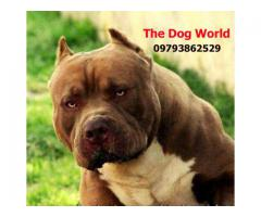 Imported 100% Original American Bully Puppies available 9793862529