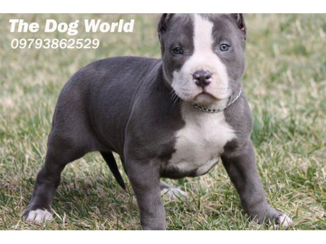 100% Original American Pitbull Imported Breed Puppies available 9793862529